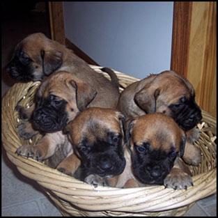 EnglishMastiff_Puppies.jpg